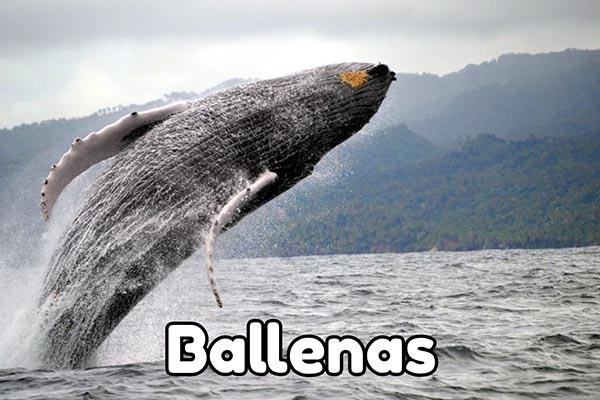 observación ballenas jorobadas samana